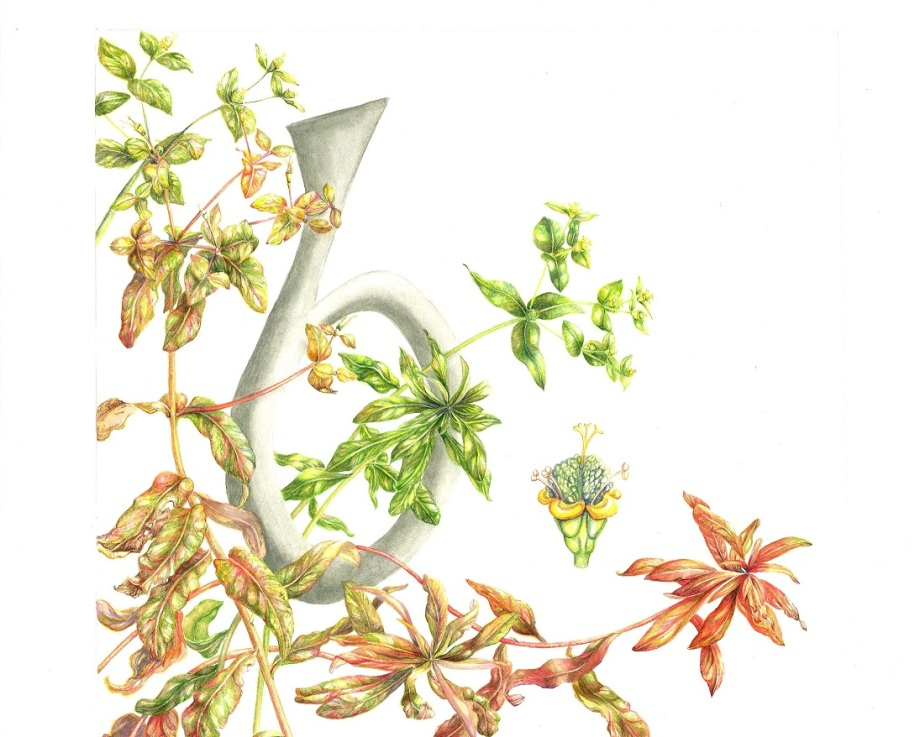 Bainne caoin, Euphorbia hyberna, Irish spurge. Aibitir, Irish Alphabet in Botanical Art, ISBA Mary Dillon