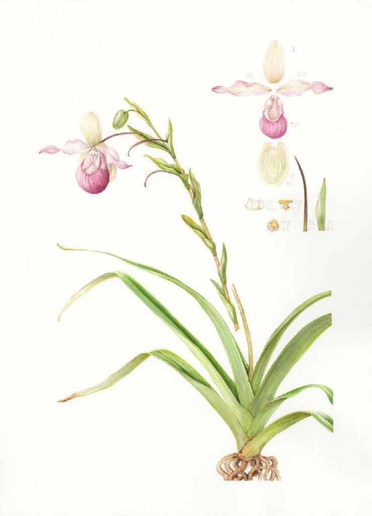 Phragmipedium sedenii, Lady's Slipper orchid. Mary Dillon