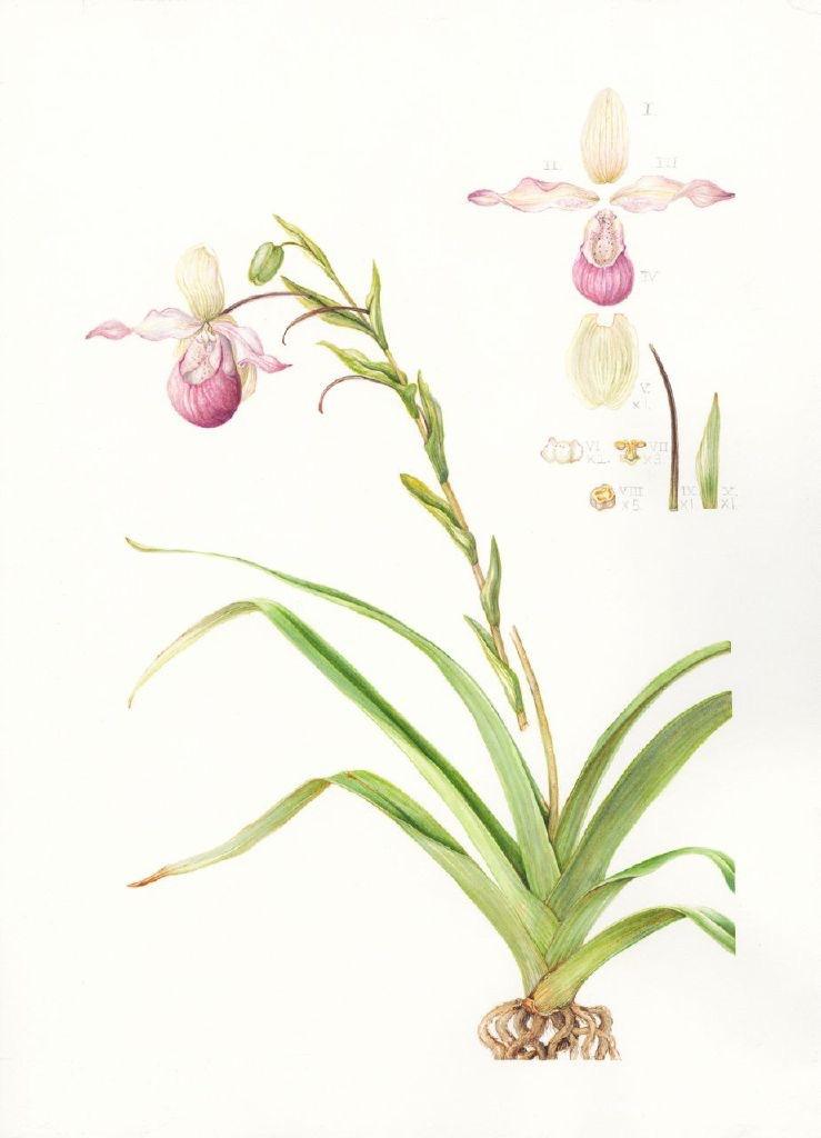 Phragmipedium sedenii, Lady's Slipper orchid. Mary Dillon