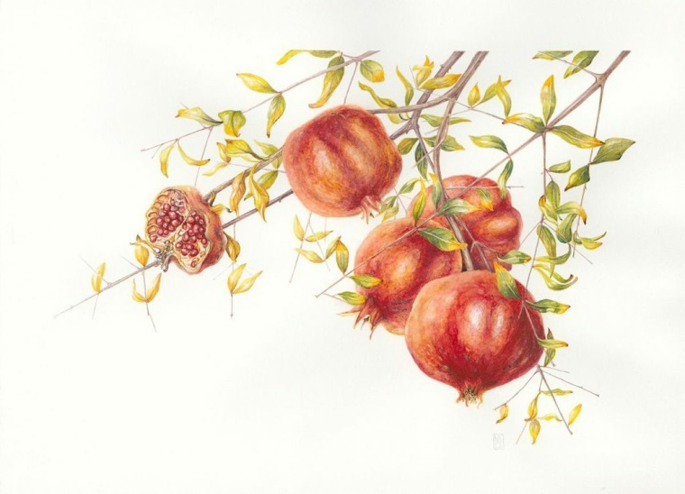 Punica granatum Pomegranates.   Mary Dillon