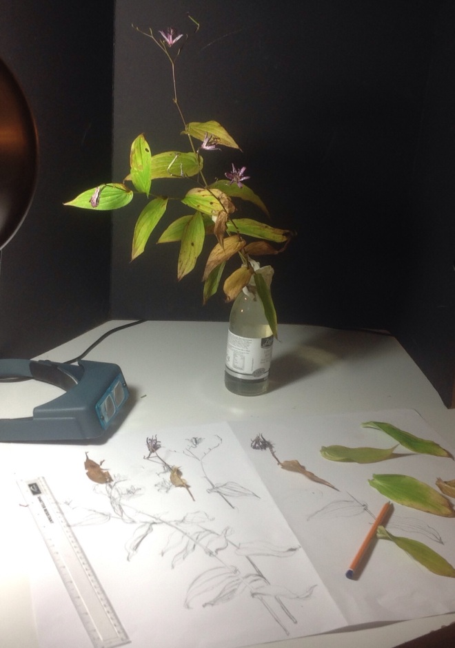 Tricyrtis formosana, Work in Progress
