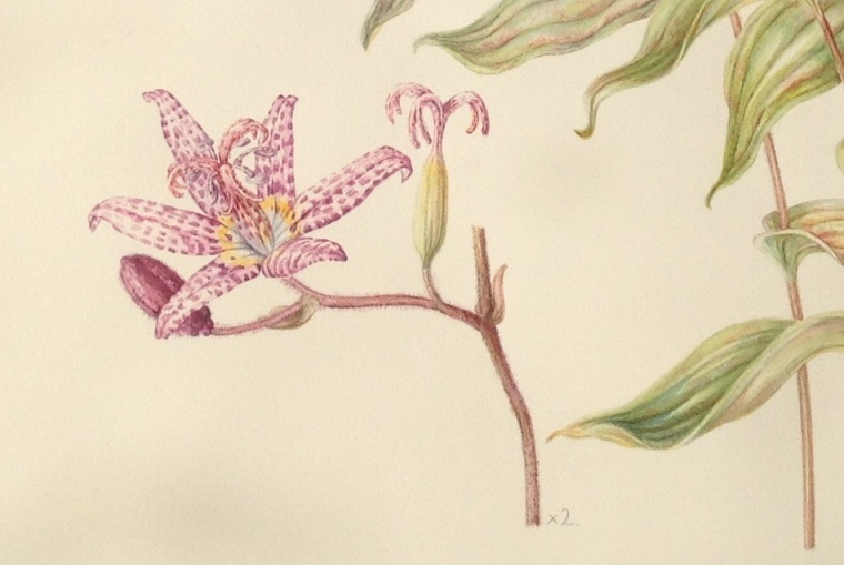 Detail of Tricyrtis formosana