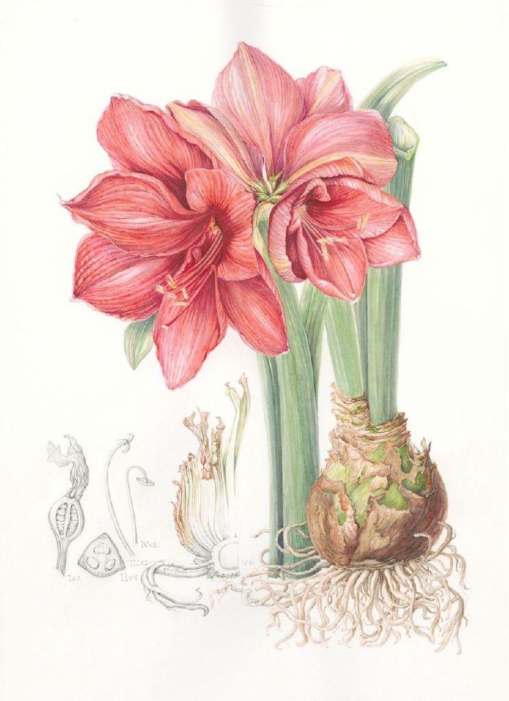 Hippeastrum 'Brazza', Amaryllis. Mary Dillon