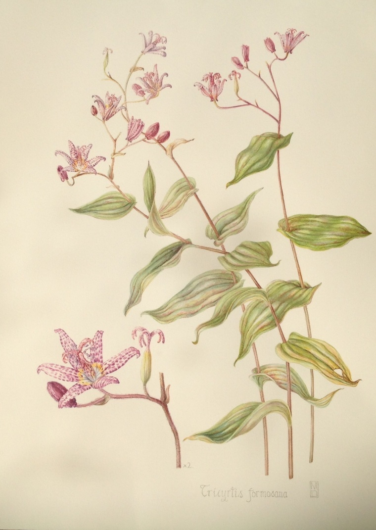 Tricyrtis formosana.    Mary Dillon