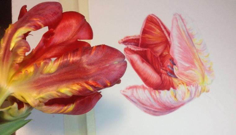 Painting Tulipa 'Rococo' MD