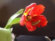 Tulip MD