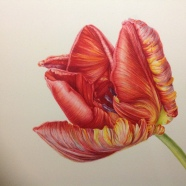 Tulipa rococco Mary Dillon
